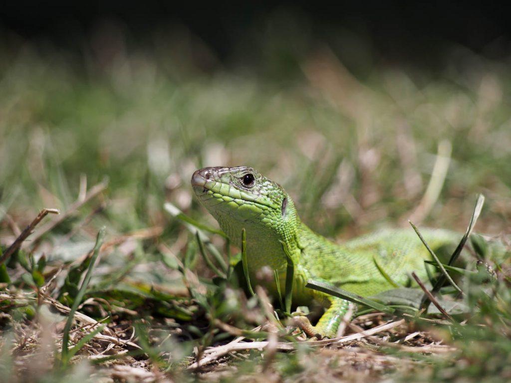 Πρασινόσαυρα- Lacerta viridis/ Julian Hoffman, Αρχείο ΦΔΕΠαΠ