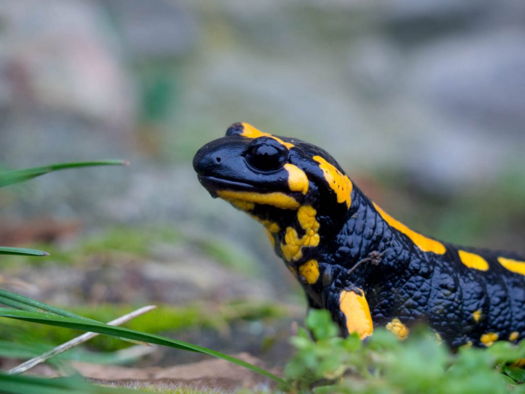 Fire salamander, Salamandra salamandra/Julian Hoffman, Αρχείο ΦΔΕΠαΠ