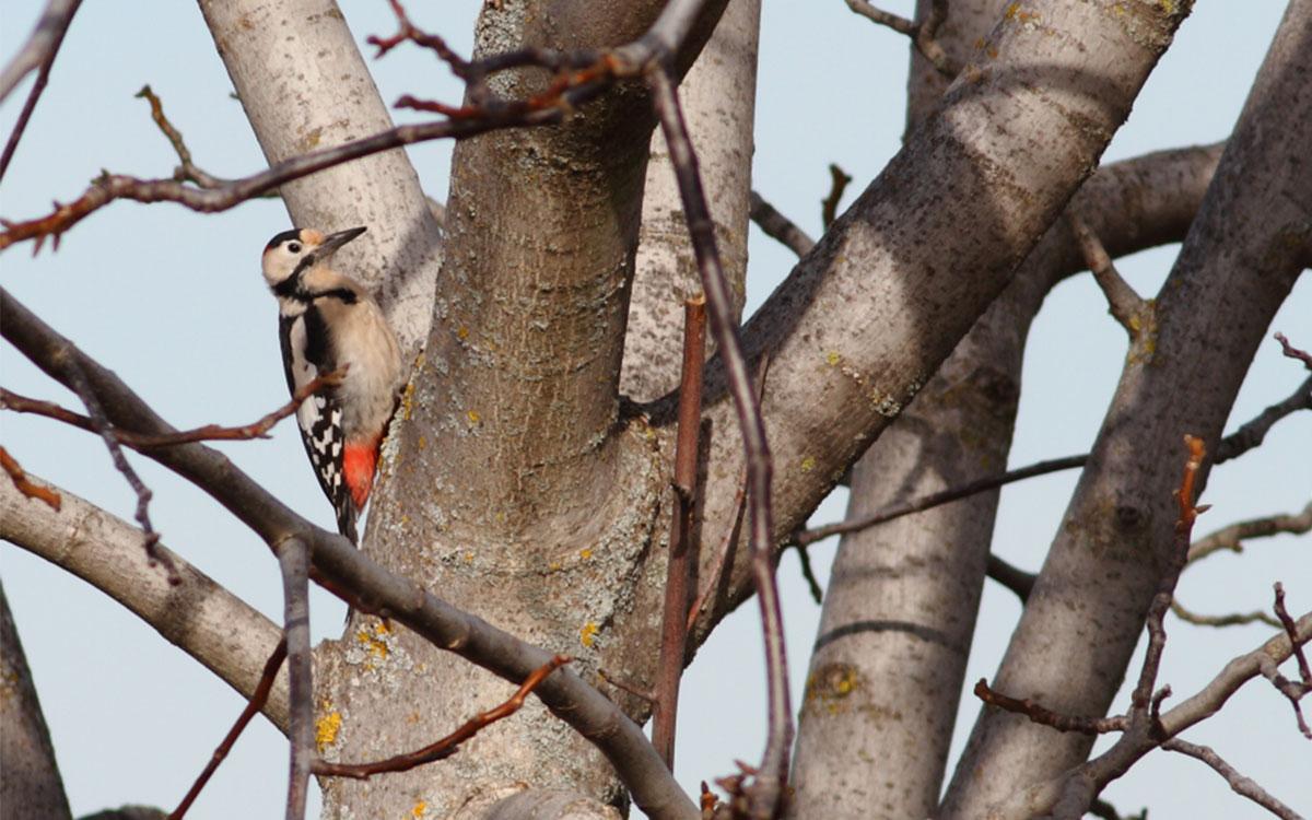 Βαλκανικός Δρυοκολάπτης- Dendrocopos syriacus- Syrian Woodpecker