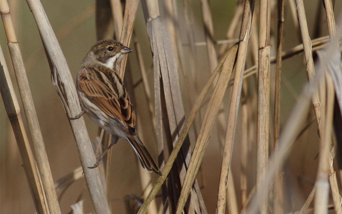 Καλαμοτσίχλονο- Emberiza schoeniclus- Common reed bunting