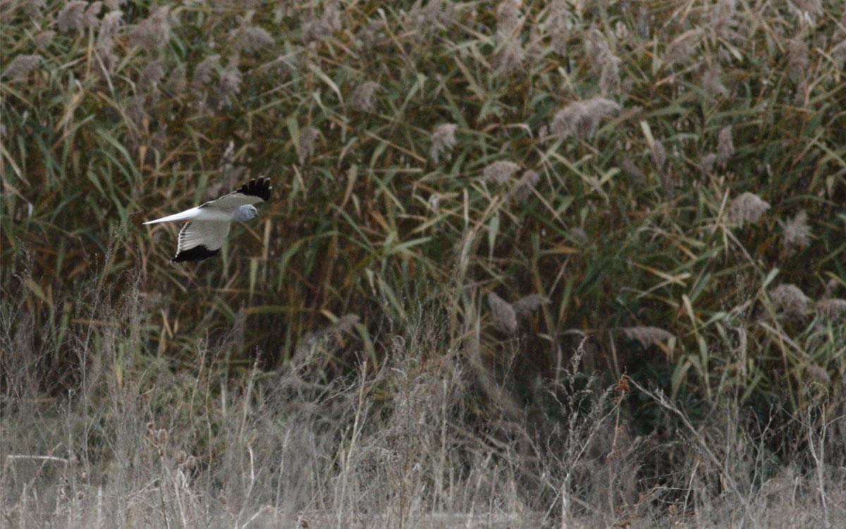 Χειμονόκιρκος αρσενικό- Circus cyaneus- Hen Harrier male