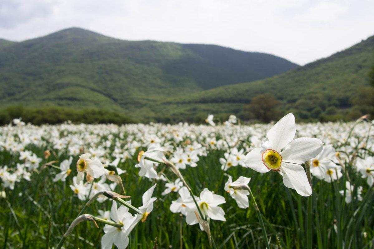 Poet's daffodil, Narcissus poeticus - ©Julian Hoffman/ MBPNP Archive