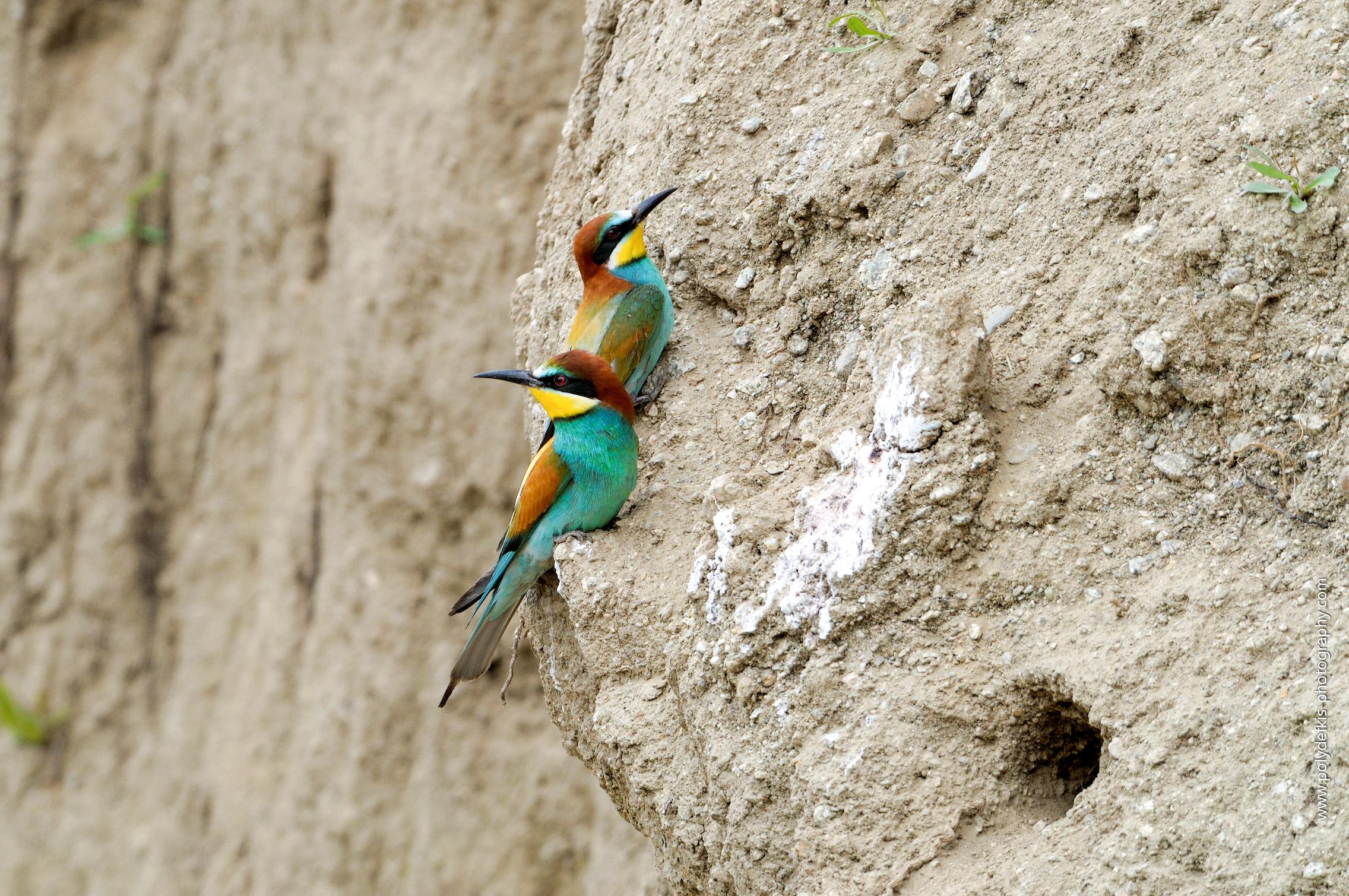 Ζευγάρι Μελισσοφάγων- Merops apiaster- European bee-eater/ Π. Σταθόπουλος- Αρχείο ΦΔΕΠαΠ