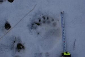 Πατημασιά αρκούδας στο χιόνι/ Σ. Πάυλου- Αρχείο ΦΔΕΠαΠ