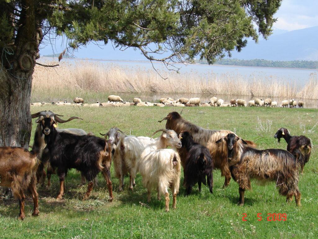 Κτηνοτροφία/Α. Μάνη- Αρχείο ΦΔΕΠαΠ