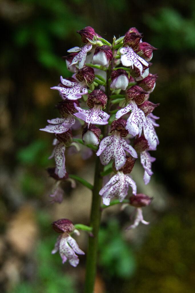Orchis purpurea/ Ε. Καζίλα- Αρχείο ΦΔΕΠαΠ