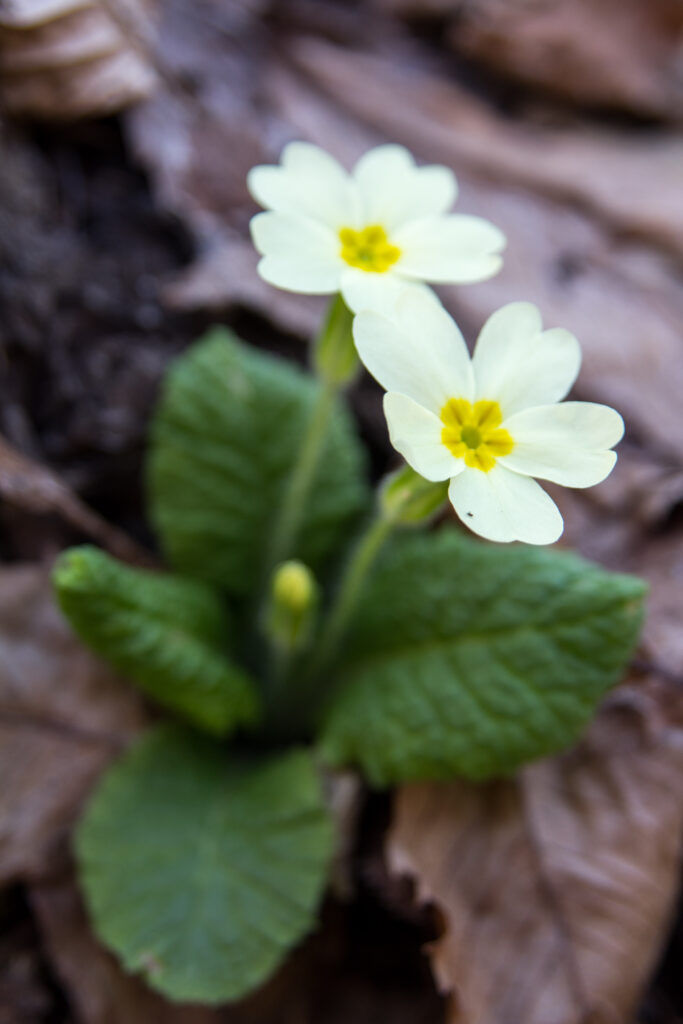 Primula vulgaris/ Ε. Καζίλα- Αρχείο ΦΔΕΠαΠ